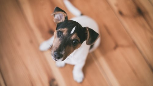 Terrier Puppy HD Wallpaper
