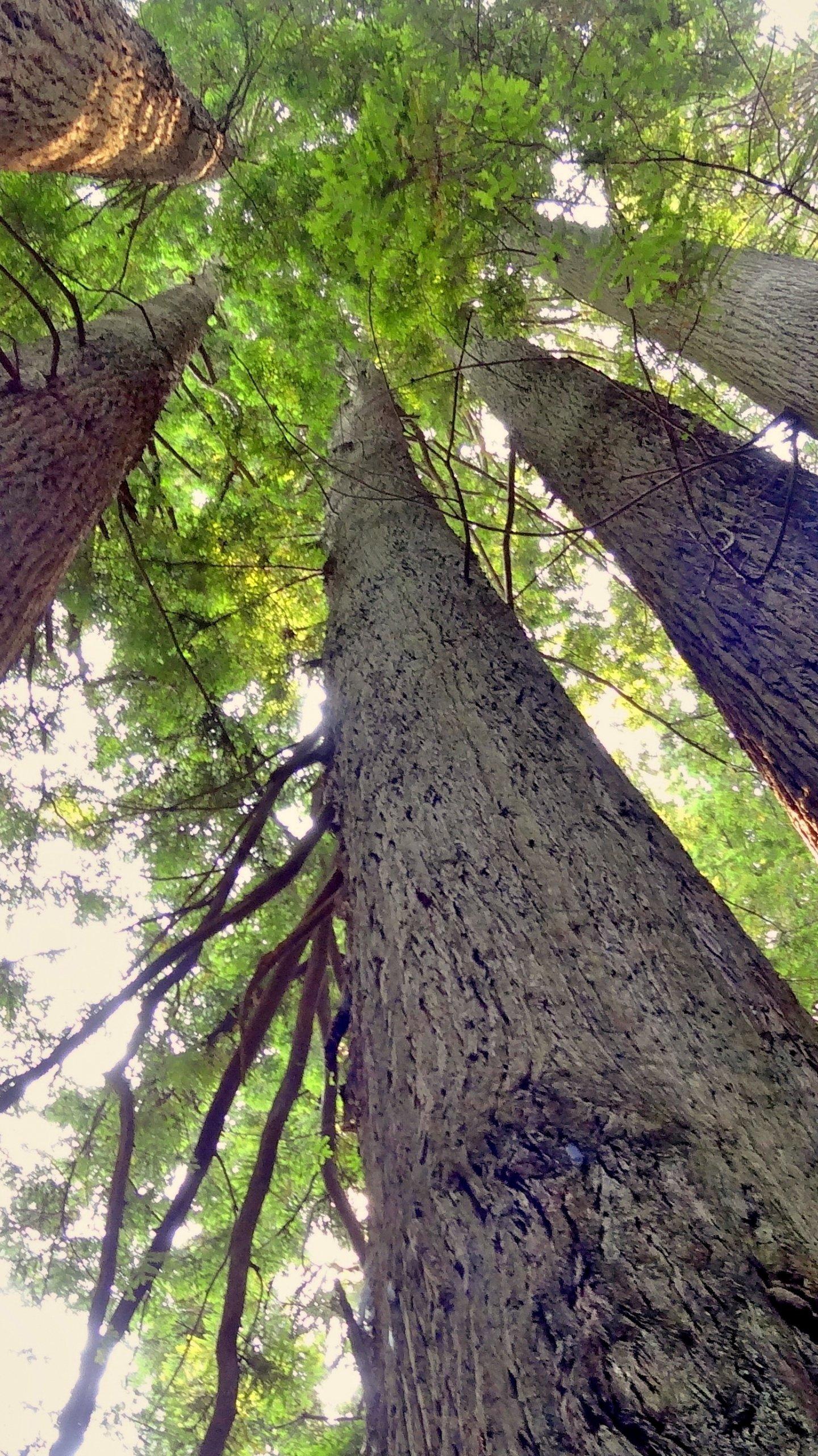 Redwood Trees Wallpaper Mobile Amp Desktop Background