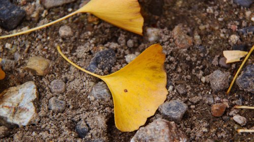 Ginkgo Leaf HD Wallpaper