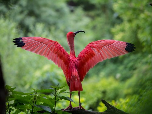 Scarlet Ibis Spreading Its Wings  Wallpaper