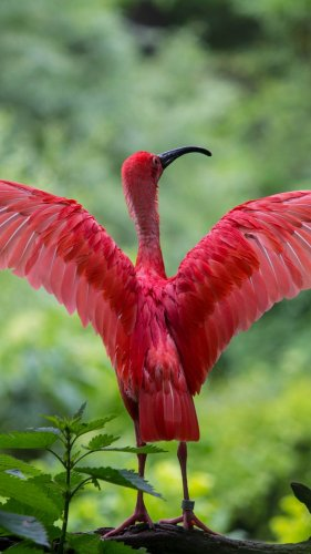 Scarlet Ibis Spreading Its Wings