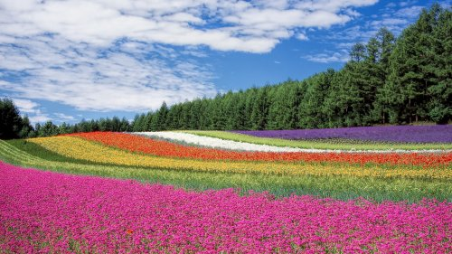 Field of Flowers HD Wallpaper