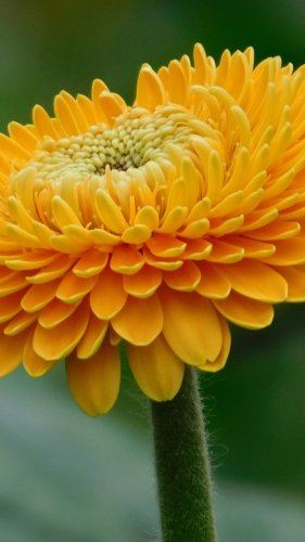 Orange Gerbera Flower Mobile Wallpaper
