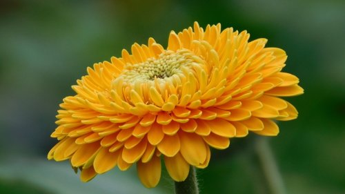 Orange Gerbera Flower HD Wallpaper