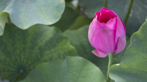 Lotus Bud HD Wallpaper