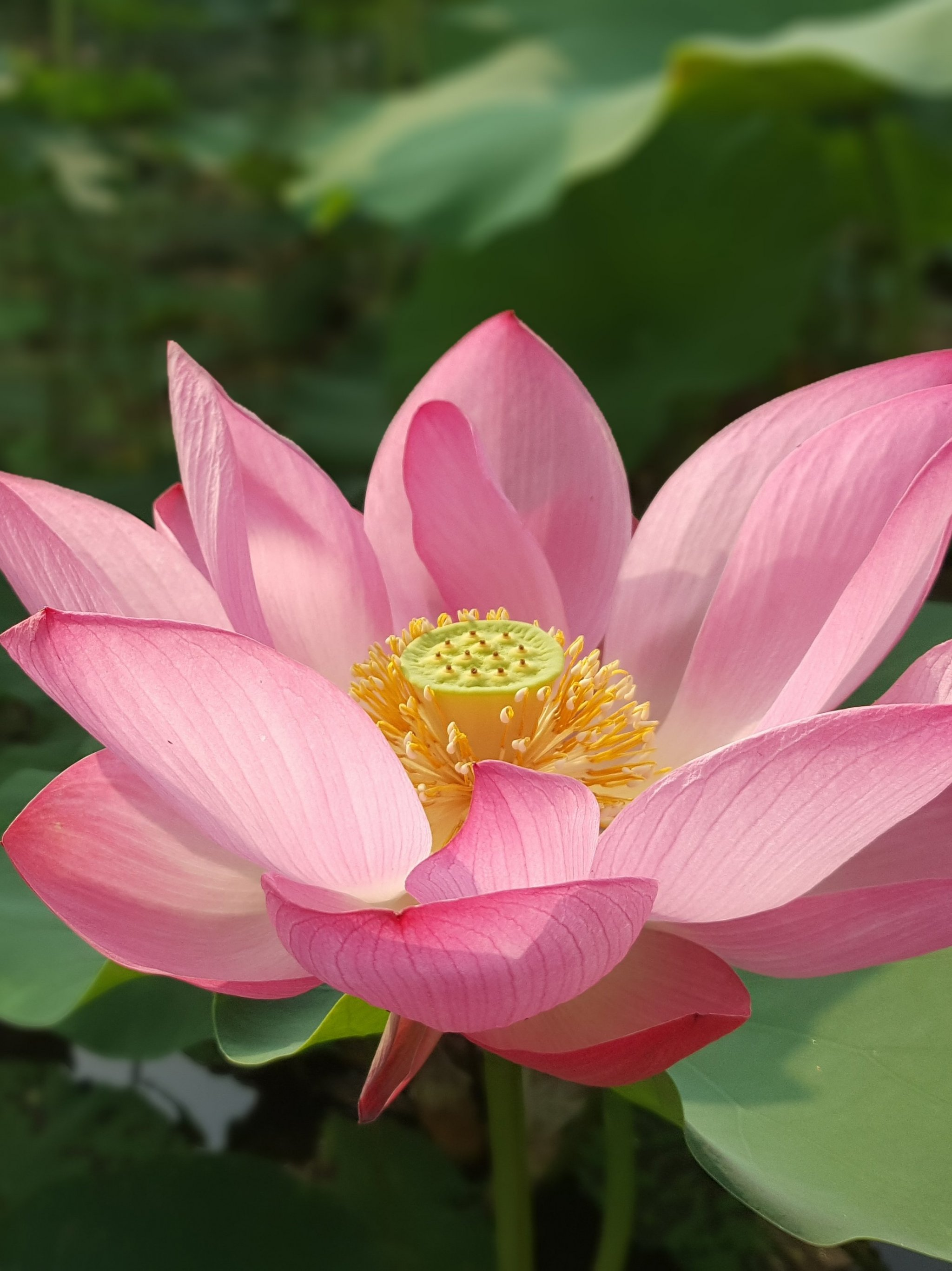 Lotus Flower Wallpaper Mobile Desktop Background
