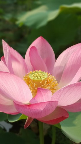 Lotus Flower Mobile Wallpaper