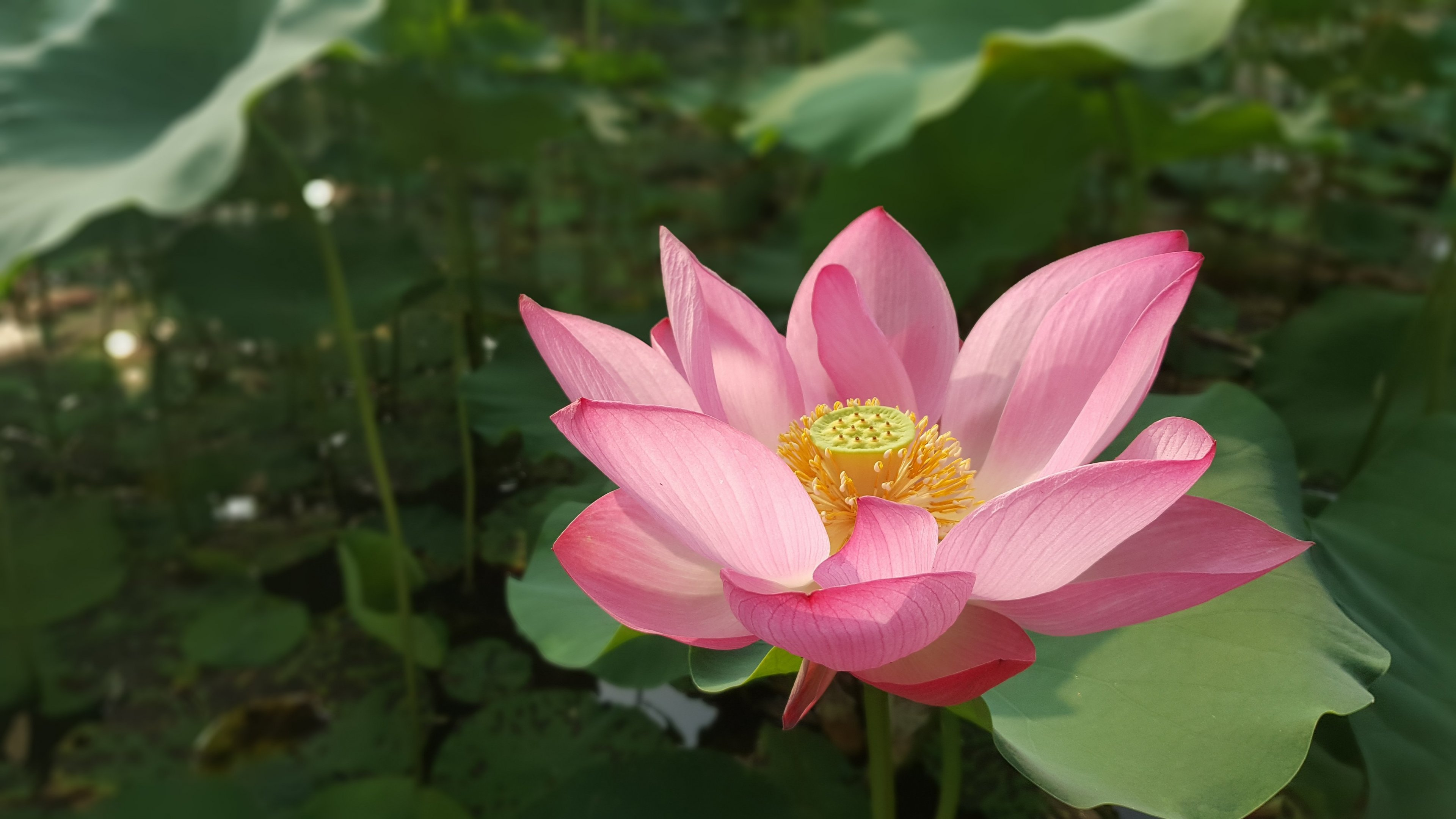 Lotus flower wallpaper mobile desktop background lotus flower izmirmasajfo