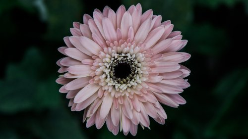 Pinky Daisy HD Wallpaper