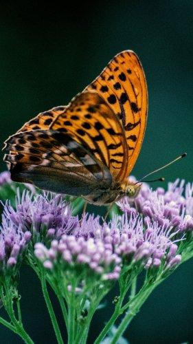 Orange Butterfly on Purple Flower Mobile Wallpaper
