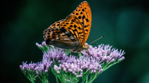 Orange Butterfly on Purple Flower Wallpaper