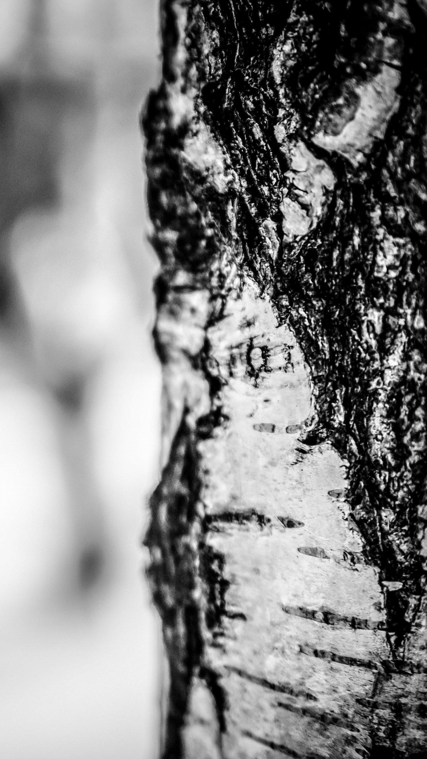 Birch Tree in Winter