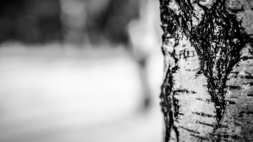 Birch Tree in Winter Wallpaper