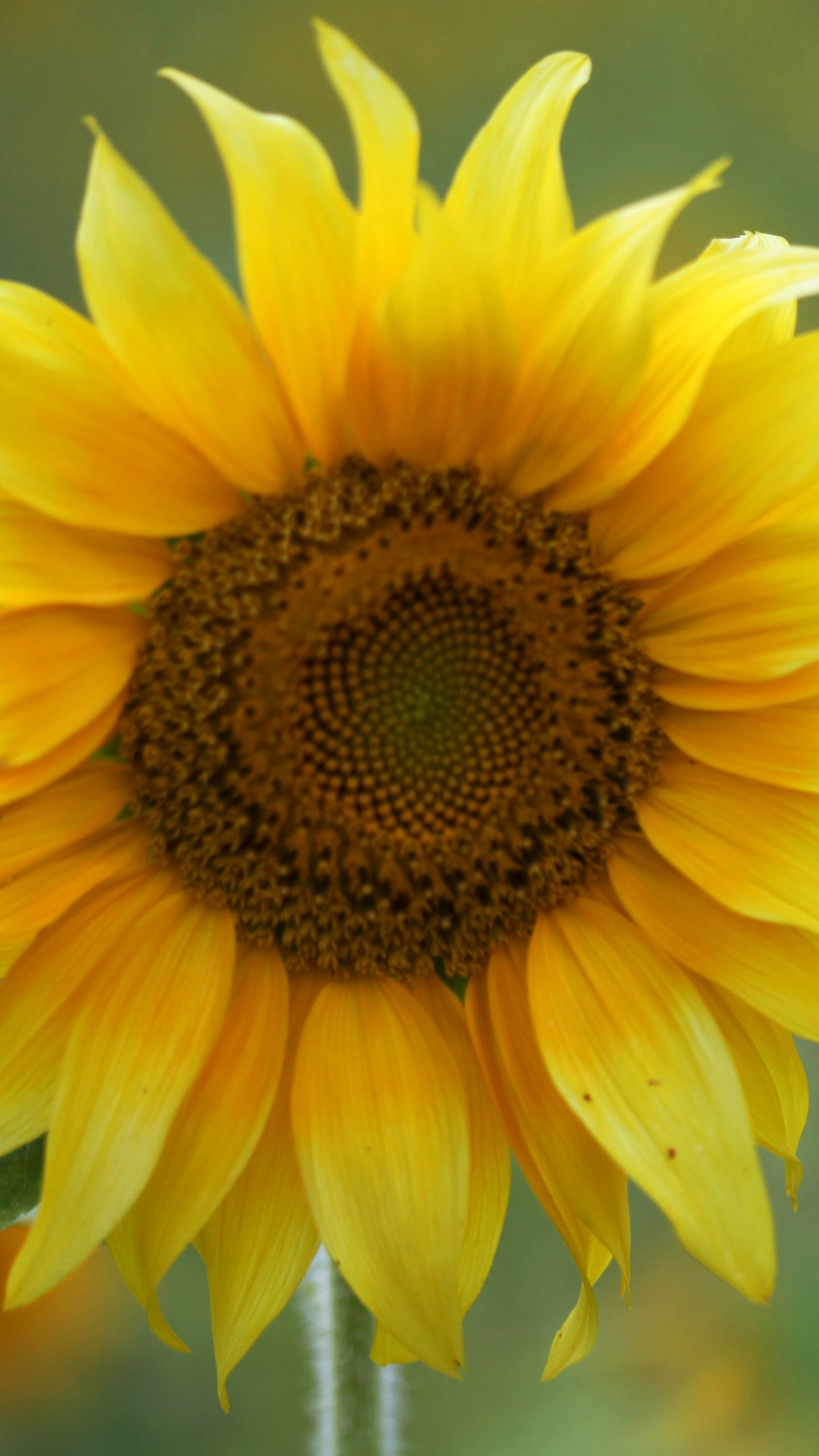 Sunflower Wallpaper - iPhone, Android