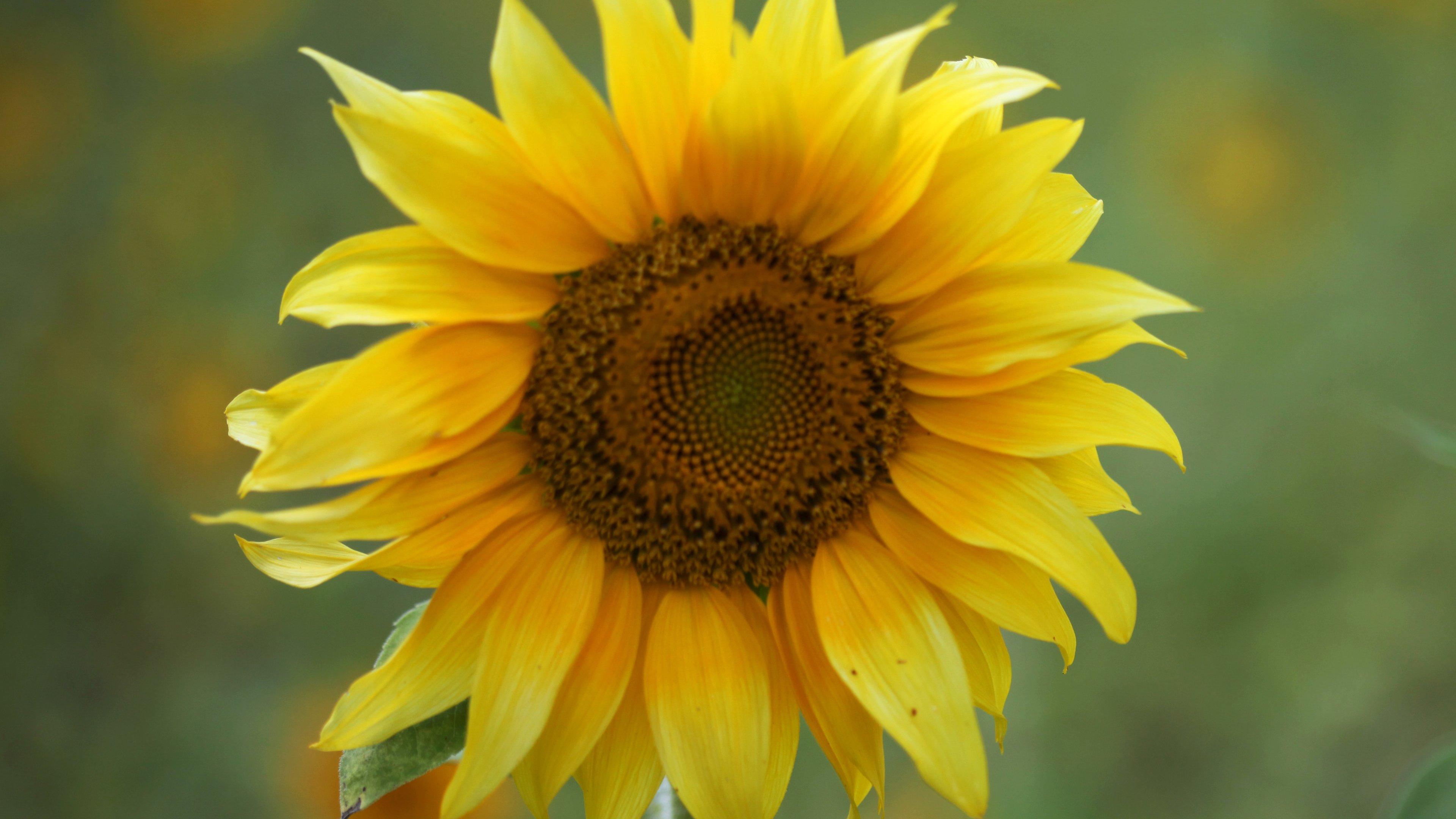 Sunflowers Wallpaper for Mobile Phone Wallpaper