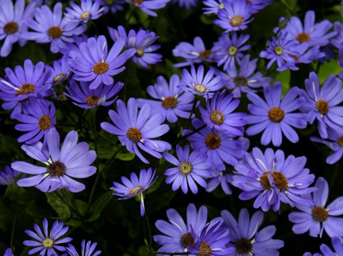 Purple Daisies  Wallpaper