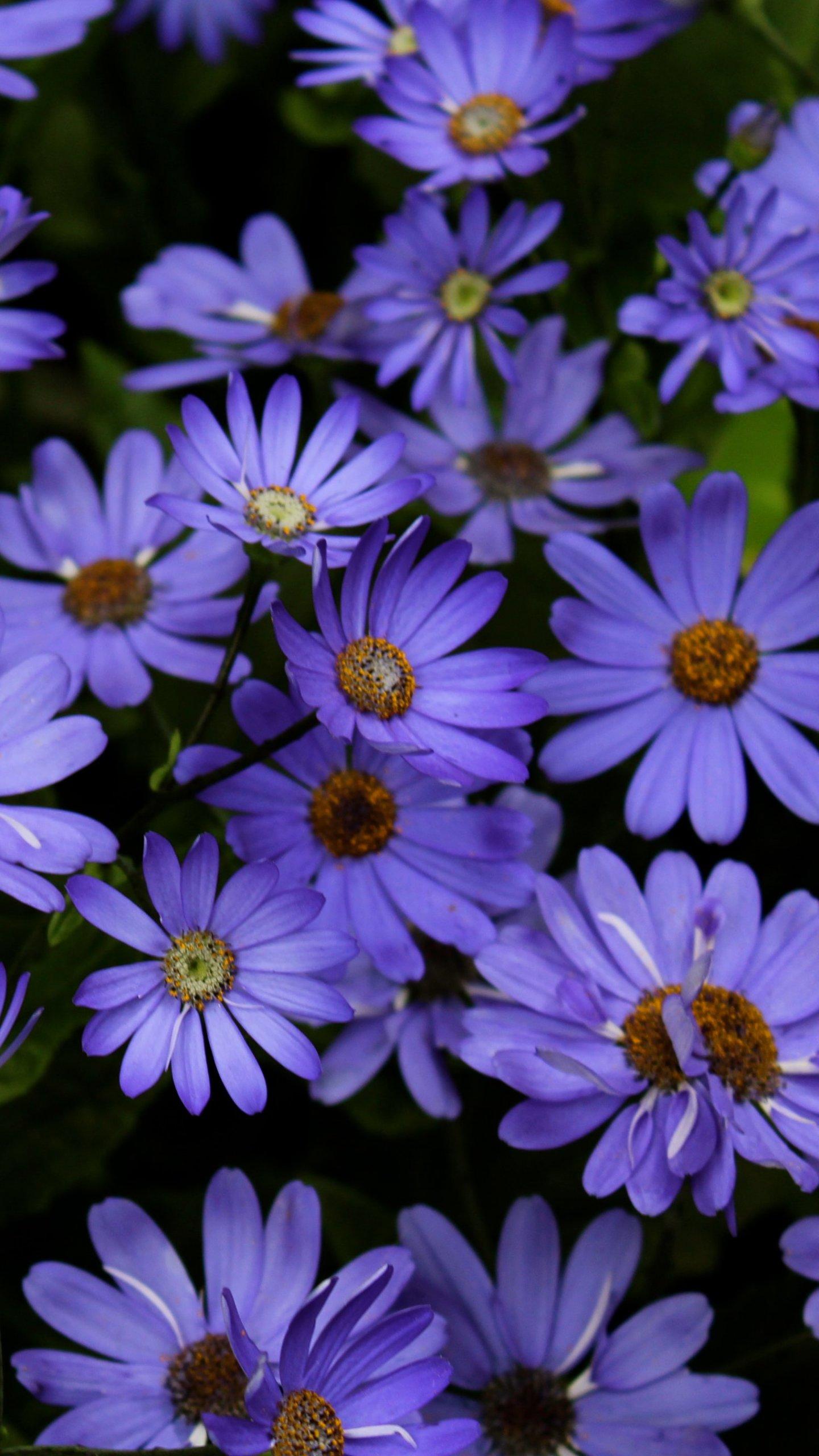 Purple Daisies Wallpaper