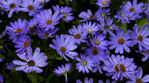 Purple Daisies HD Wallpaper