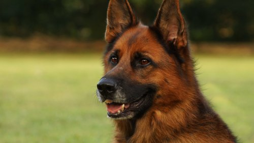 German Shephard HD Wallpaper