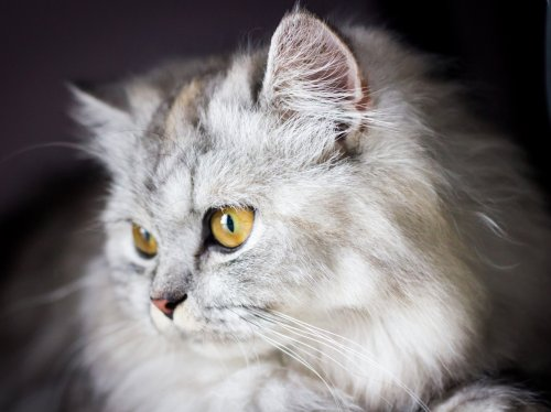 White and Gray Cat  Wallpaper