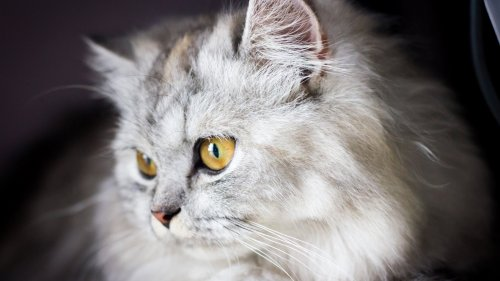 White and Gray Cat HD Wallpaper