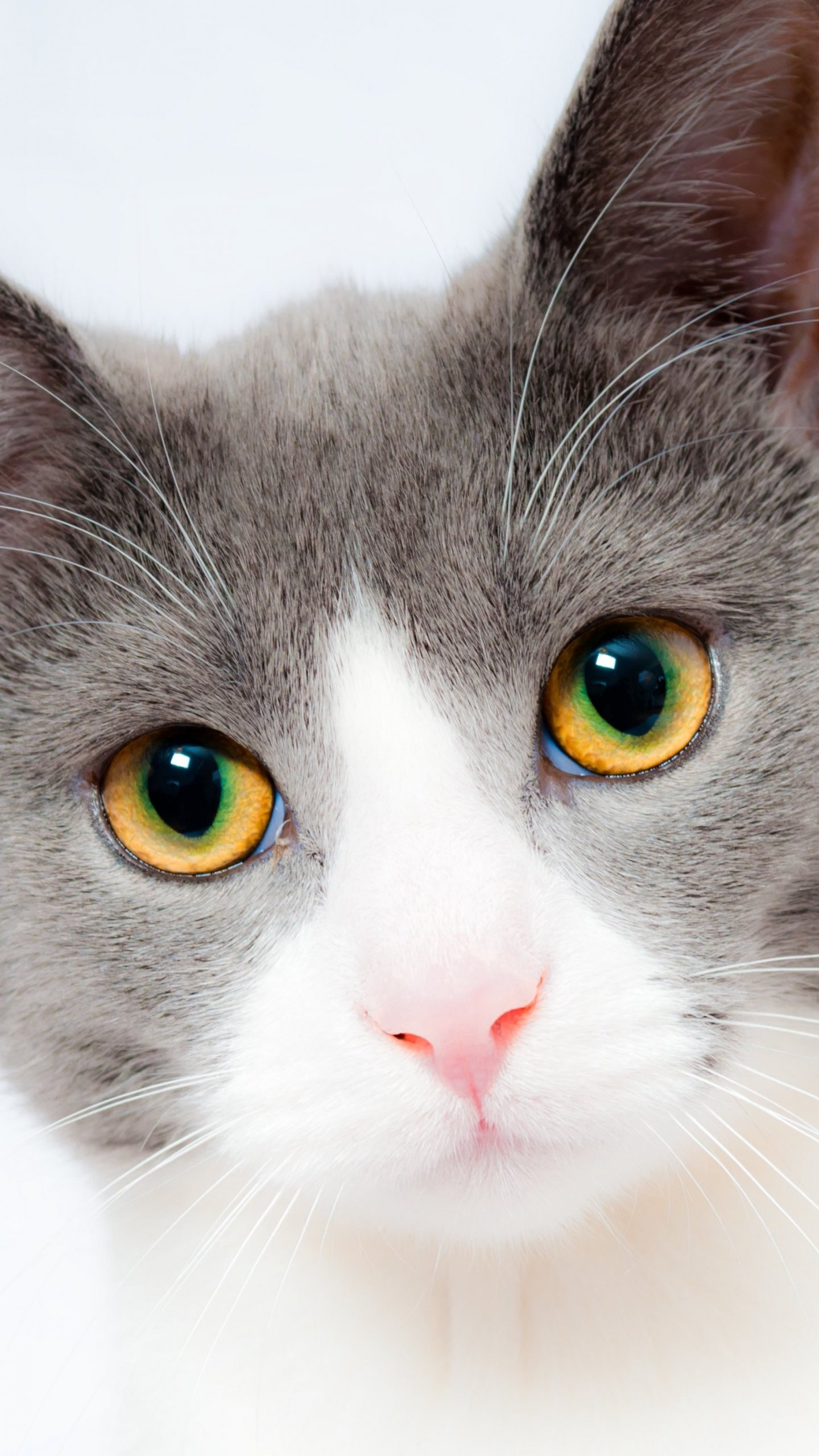 grey and white cat wallpaper - mobile & desktop background