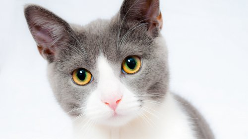Grey and White Cat Wallpaper