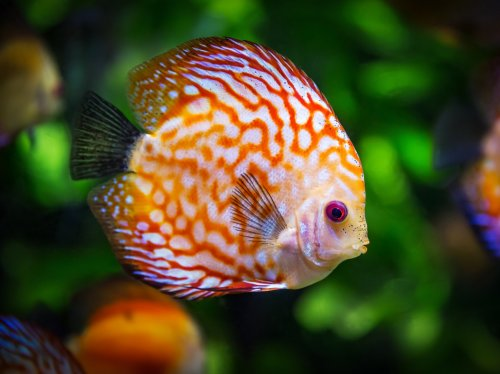 Discus Fish Underwater  Wallpaper
