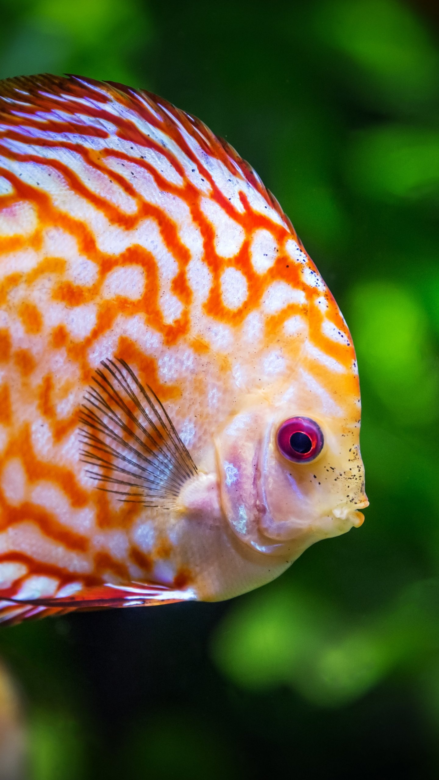 Discus Fish Underwater Wallpaper Iphone Android Desktop