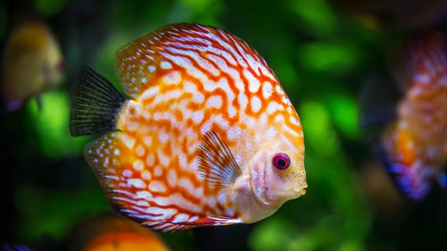 Discus Fish Underwater HD Wallpaper