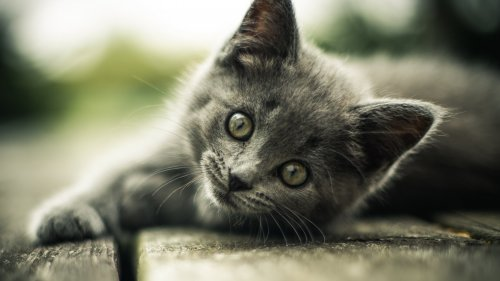 Gray Kitten HD Desktop Wallpaper