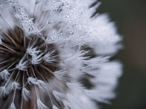 Dandelion With Dew  Wallpaper