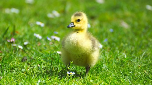 Fluffy Baby Goose HD Wallpaper