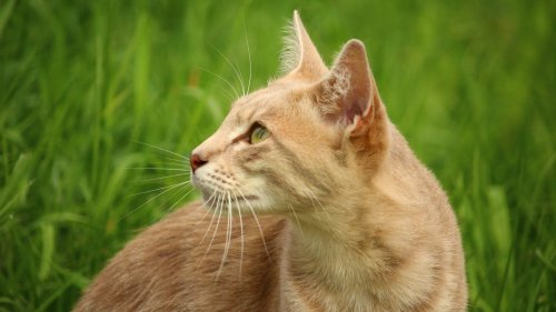 Orange Cat in Grass Wallpaper