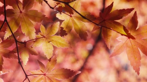 Autumn Maple Leaves HD Wallpaper