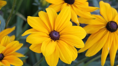 Black Eyed Susan Flowers HD Wallpaper