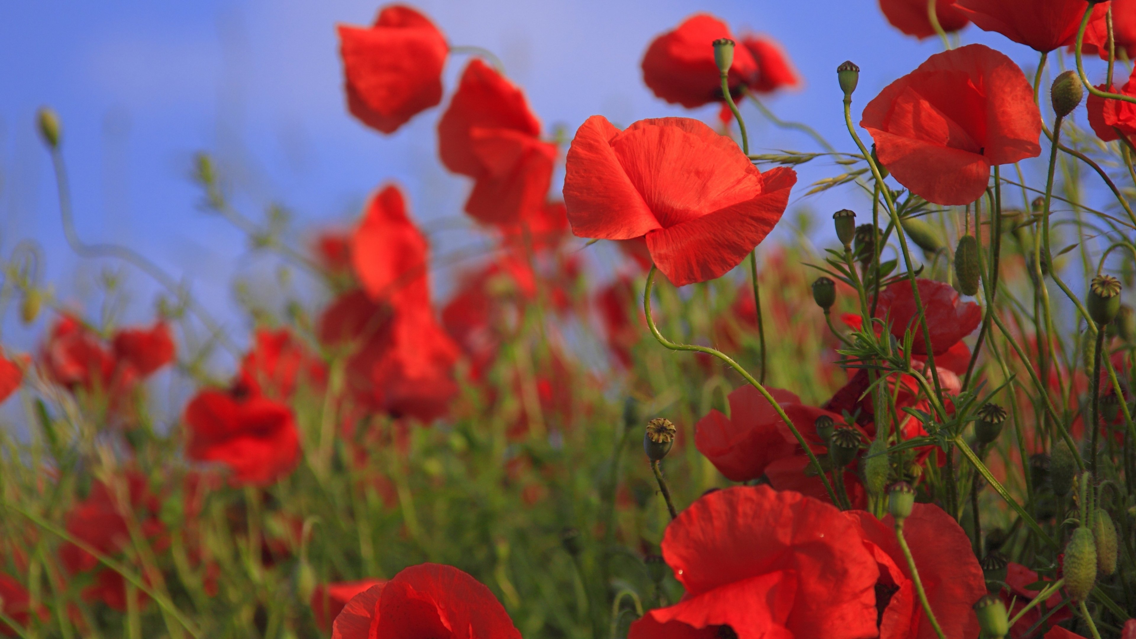 red poppies wallpaper - mobile & desktop background