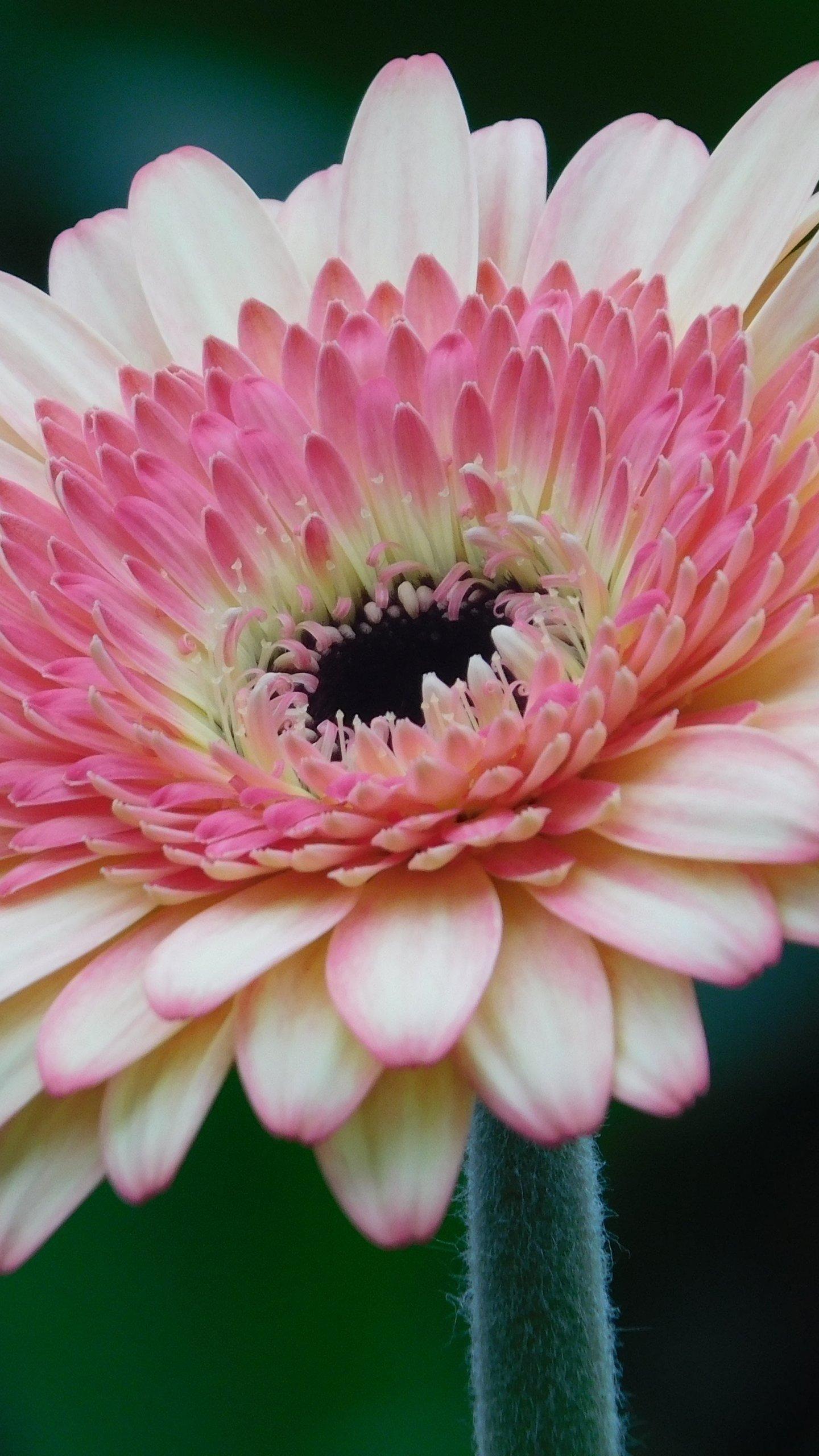 Pink Gerbera Daisy Flower Wallpaper Iphone Android Desktop