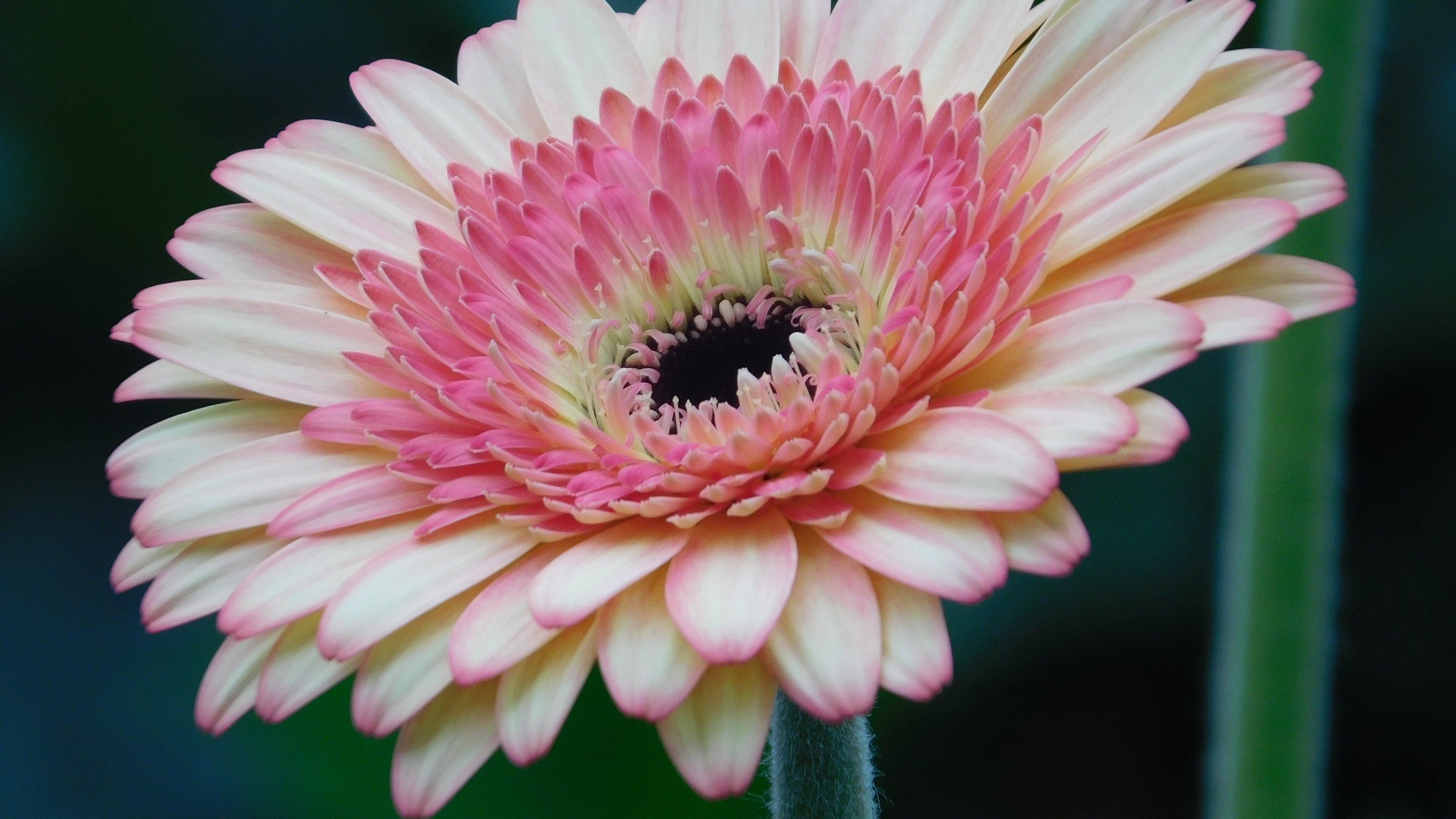 Pink gerbera daisy flower wallpaper iphone android - Gerber daisy wallpaper ...