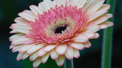 Pink Gerbera Daisy Flower HD Wallpaper