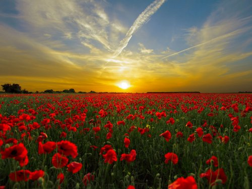 Red Poppy FIeld  Wallpaper