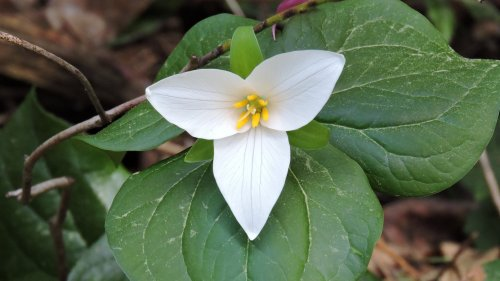 Trillium HD Desktop Wallpaper
