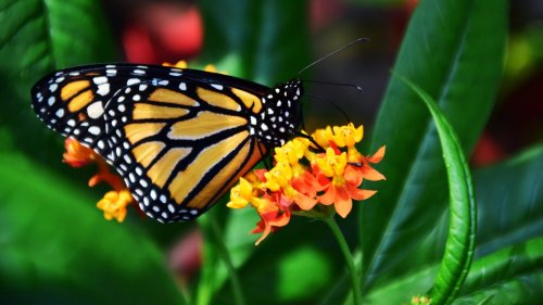 Monarch Butterfly HD Wallpaper