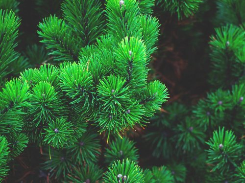 Pine Needles  Wallpaper