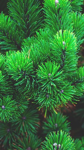 Pine Needles Mobile Wallpaper