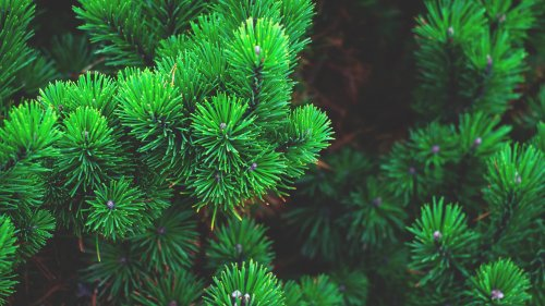 Pine Needles HD Desktop Wallpaper