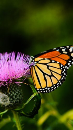 Monarch Butterfly on Thistle Flower Mobile Wallpaper