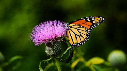 Monarch Butterfly on Thistle Flower HD Wallpaper