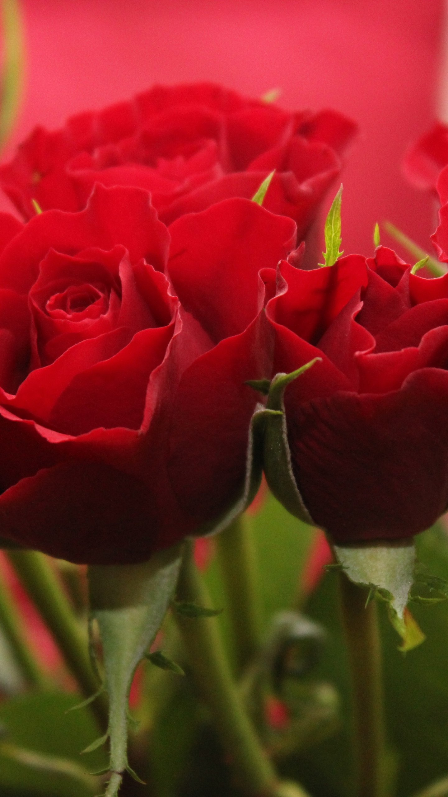 Red Roses Wallpaper Iphone Android Desktop Backgrounds
