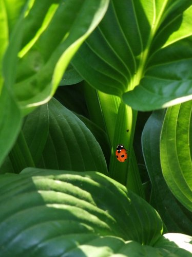 Ladybug on Leaves